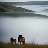EXMOOR PONIES ON A FOG-SHROUDED MOOR