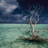 A PETRIFIED TREE FLOATS IN THE PALMYRA ATOLL