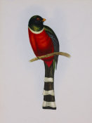 Aaron Ashley - Trogon Mexicanus