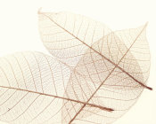 Art Photo - Sheer Leaves III