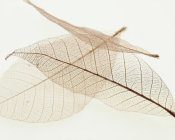 Art Photo - Sheer Leaves IV