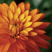 June Hunter - Orange Dahlia