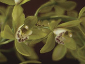 June Hunter - Cymbidium 3