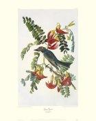 John James Audubon - Gray Tyrant (decorative border)