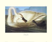 John James Audubon - Trumpeter Swan (decorative border)