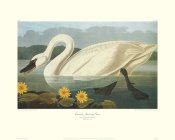 John James Audubon - Common American Swan (decorative border)