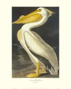 John James Audubon - American White Pelican (decorative border)