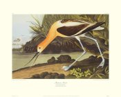 John James Audubon - American Avocet (decorative border)