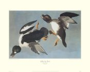 John James Audubon - Golden-Eye Duck (decorative border)