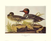 John James Audubon - American Green-Winged Teal (decorative border)