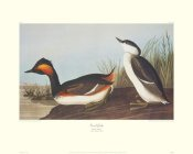 John James Audubon - Eared Grebe (decorative border)