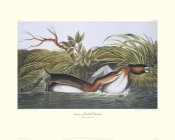 John James Audubon - American Pied-Bill Dobchick (decorative border)