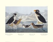 John James Audubon - Black-throated Guillemot and Nobbed-billed Auk (decorative border)