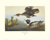 John James Audubon - Red-Breasted Merganser (decorative border)