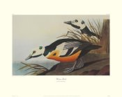 John James Audubon - Western Duck (decorative border)
