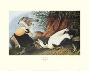 John James Audubon - Eider Duck (decorative border)