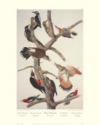 John James Audubon - Hairy Woodpecker (decorative border)