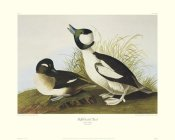 John James Audubon - Buffel-Headed Duck (decorative border)
