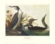 John James Audubon - Red-Throated Diver (decorative border)