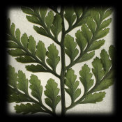 June Hunter - Rabbitsfoot Fern