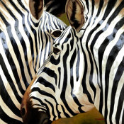 Arcobaleno - Zebra Close-up