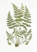 Anonymous - Brittle Fern