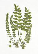 Anonymous - Sea Spleenwort