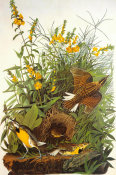 John James Audubon - Meadow Lark