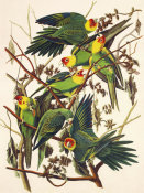 John James Audubon - Carolina Parrot