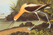 John James Audubon - American Avocet