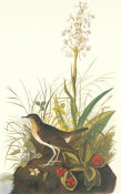 John James Audubon - Tawny Thrush