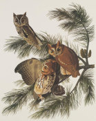 John James Audubon - Little Screech Owl or Mottled Owl