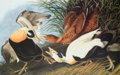 John James Audubon - Eider Duck