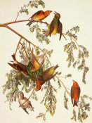 John James Audubon - American Crossbill