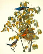 John James Audubon - Blue Grosbeak