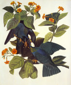 John James Audubon - White-Crowned Pigeon