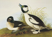 John James Audubon - Buffel-Headed Duck