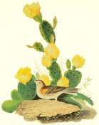 John James Audubon - Grass Finch Or Bay-Winged Bunting