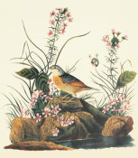 John James Audubon - Yellow-Winged Sparrow