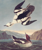 John James Audubon - Smew Or White Nun
