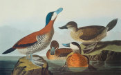 John James Audubon - Ruddy Duck