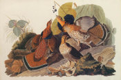 John James Audubon - Ruffed Grouse