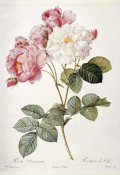Pierre Joseph Redoute - Damask Rose