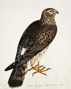 Rev. Christopher Atkinson - Falco Pygargus, Hen-Harrier, Fem