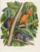 John James Audubon - Red-Bellied Squirrel