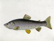 Sarah Bowdich - Watercolour of a Trout. From 'The Fresh-Water Fishes of Great Britain', First Edition