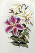 Henry John Elwes - A Monograph of The Genus Lilium