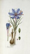 Andreas Friedrich Happe - Crocus Sativus