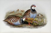 John Gould - Red Legged Partridges