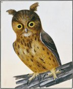 William Lewin - Owl